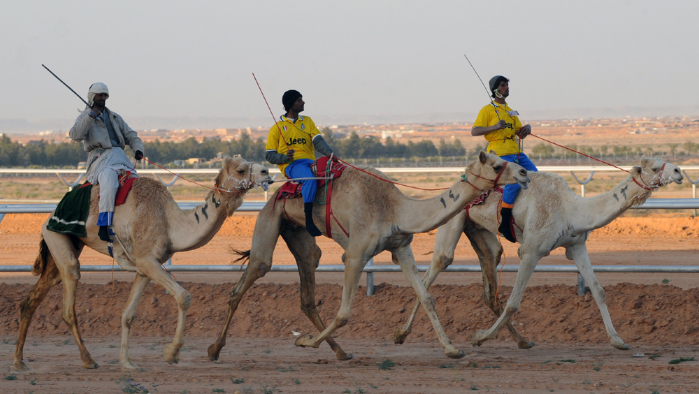 Картинки по запросу Скачки на верблюдах