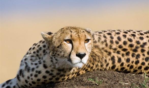 وفاة انثى الفهد ساره أسرع حيوان ثدي بري في العالم صحيفة الاقتصادية