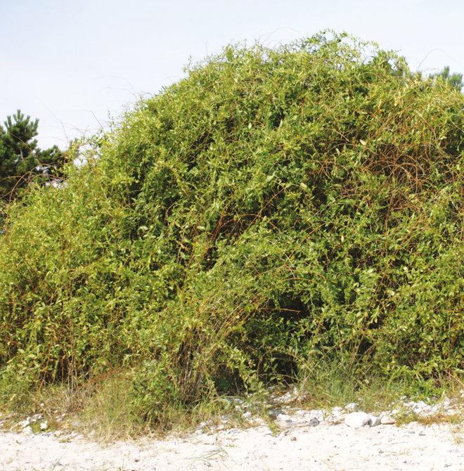 شجرة العوسج .. وأساطير الجن