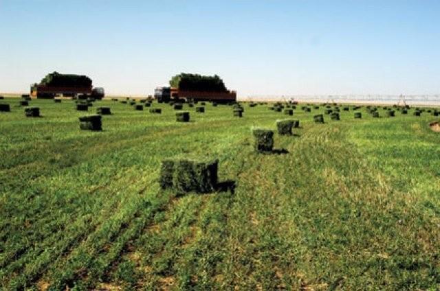 """""""نادك و """"تبوك الزراعية"""" توقفان زراعة الأعلاف الخضراء"""