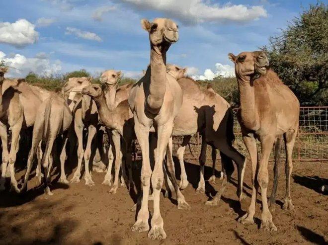 مخاوف في كينيا.. الجمال قد تتسبب بالجائحة العالمية المقبلة