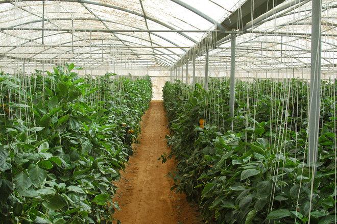 بحث تصدير المنتجات الزراعية السعودية إلى هولندا