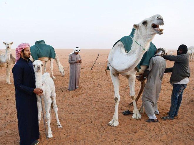 باحثون في الإمارات : حليب الإبل يخفض الإنسولين ويحارب السكري