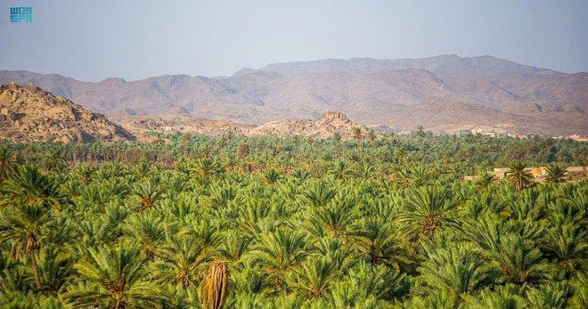 السعودية الثانية عالميا في إنتاج التمور بـ 1.5 مليون طن