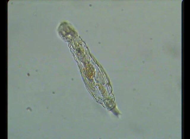 كائن مجهري يعود للحياة بعد 24 ألف عام تحت جليد سيبيريا