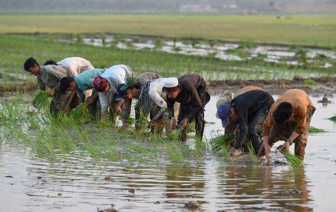 أرز البسمتي الإرث المشترك .. خلاف محتدم جديد بين الهند وباكستان
