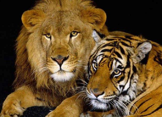 إصابة أسود ونمور بكورونا في حديقة حيوانات أمريكية