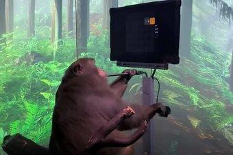 بوساطة شريحة في دماغه .. قرد يتحكم في لعبة فيديو