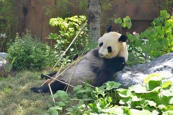 حمل باندا في حديقة حيوانات يابانية ترفع قيمة أسهم مطاعم مجاورة 29%