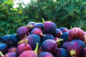 55 ألف شجرة في تبوك تغذي أسواق المملكة بمختلف أصناف التين