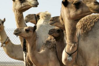 مسابقات الجمال تشعل الطلب على استنساخ الإبل في الإمارات