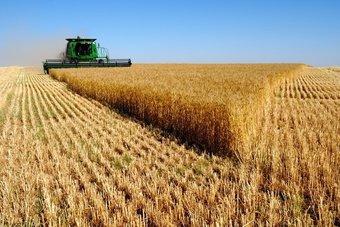 صرف 42.5 مليون ريال مستحقات الدفعة الـ 11 من مزارعي القمح المحلي