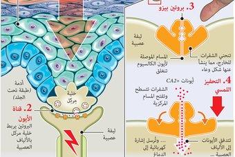 اكتشاف مجسات بروتينية للإحساس والشعور في جسم الإنسان